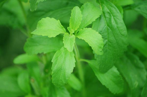 Листья стевии